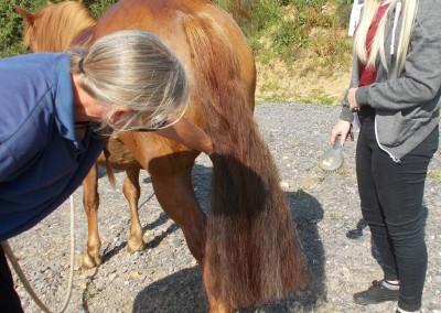 Grooming Bodster pony
