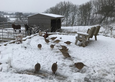 Pheasants in the snow